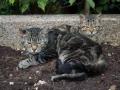 Les chats de Noiron-sous-Gevrey